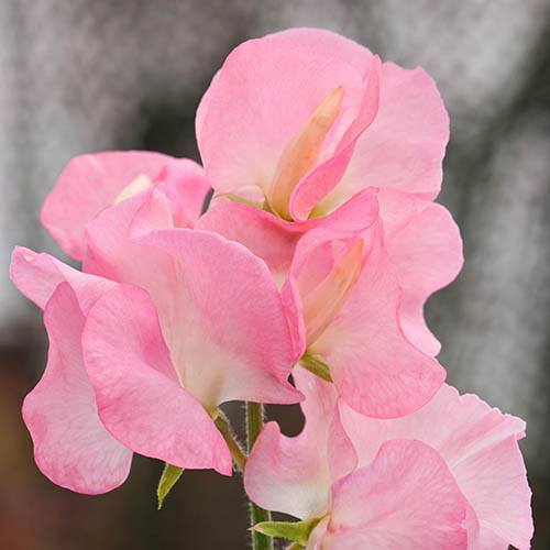 Sweet Pea Patio Perfect Collection