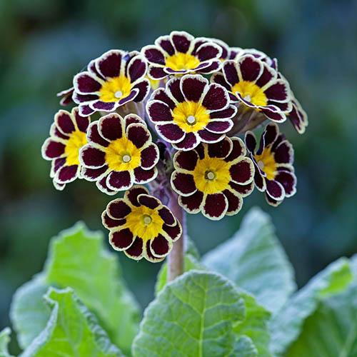 Primula 'Gold Lace' Bedding Plant Pack of 12 Jumbo Plugs
