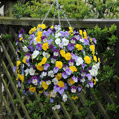 Trailing Hardy Pansy Cool Wave