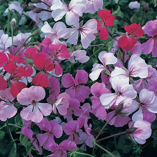 Trailing Ivy Geranium Summertime  Mix