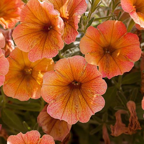 Petunia Indian Summer Apricot Shades x 12