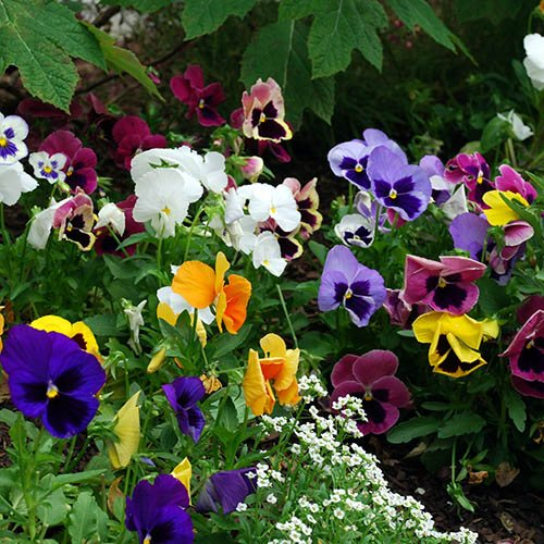 Pansy Matrix Mix