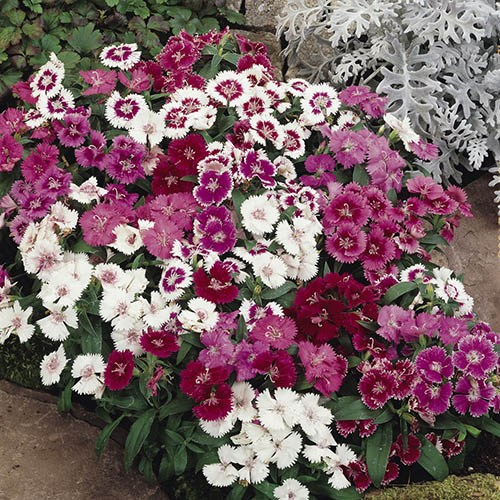 Sweet William Dianthus Festival Mix