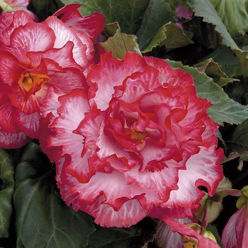 Upright Begonia Majestic Pink Picotee