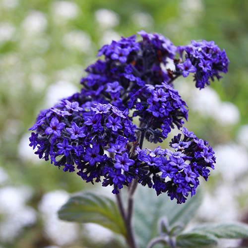 Cherry Pie Plant - Heliotrope Nautilus Blue