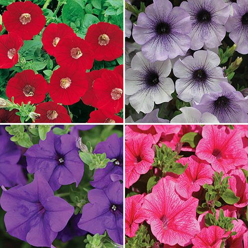 Surfinia Trailing Petunia Collection