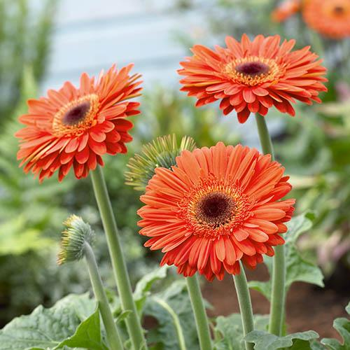 Jumbo Patio Gerbera Collection