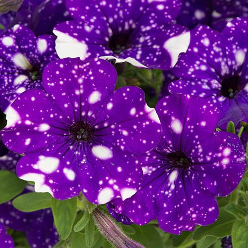 NEW Spotted Petunia 'Night Sky' Bedding Plant Pack of 12 Jumbo Plugs