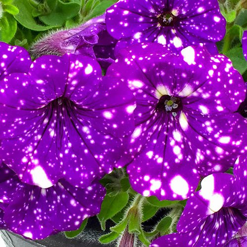 Petunia Purple Joy