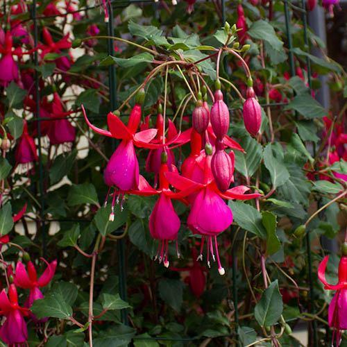 Climbing Hardy Fuchsia Pink Fizz