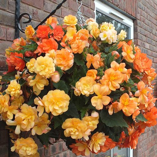 2 x 12 Easy Fill & 20 Begonia Apricot Shades