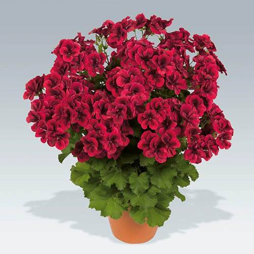 Pelargonium Candy Flowers Collection.