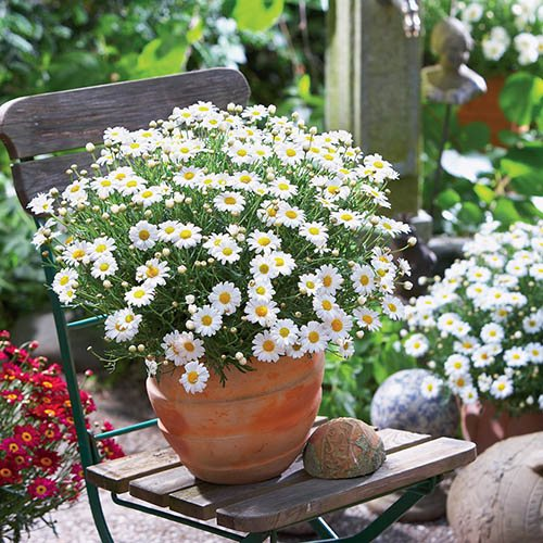 Crazy Daisy Marguerite Collection of 12 Plug Plants in 4 Colours