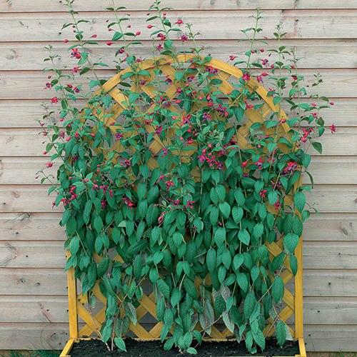Hardy Climbing Fuchsia Collection