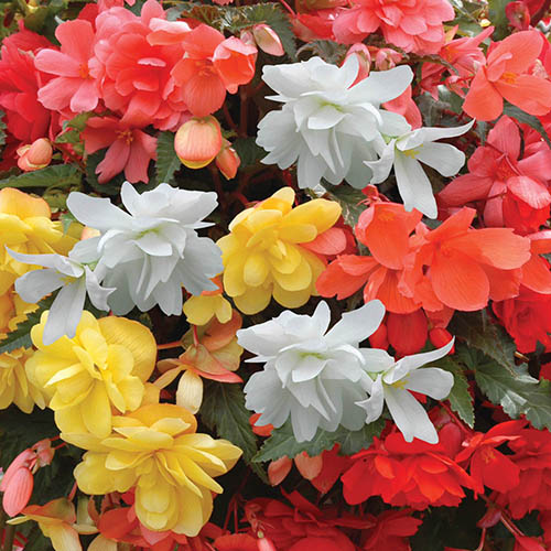 Begonia Super Cascade Mix