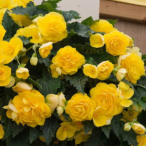 Begonia Non-Stop Joy Yellow Kit