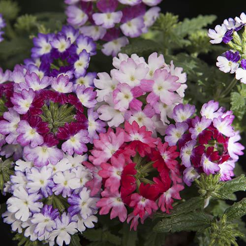Verbena Wicked Mix