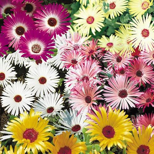 Mesembryanthemum Gelato Mix