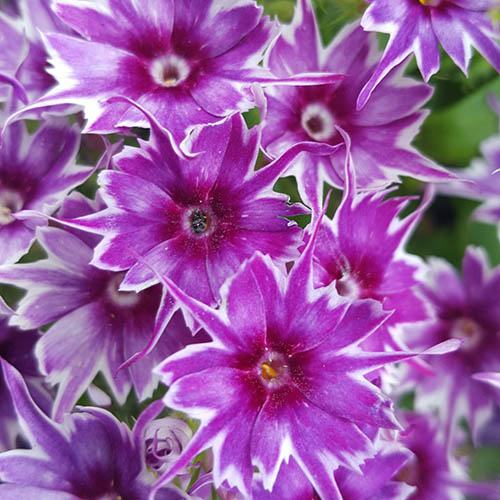 Phlox Popstars Mix