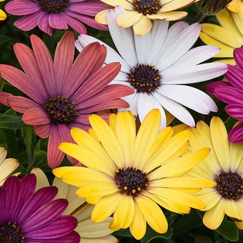 Osteospermum Grand Canyon Mix