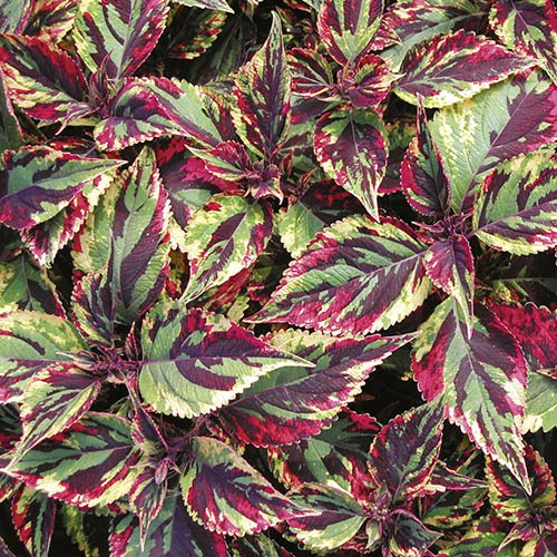 Coleus Foliage Mix