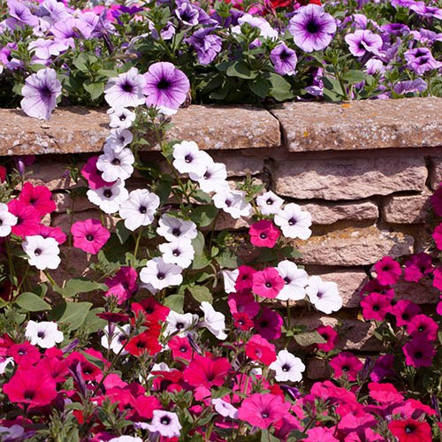 Groundcover Petunia Wave Mix
