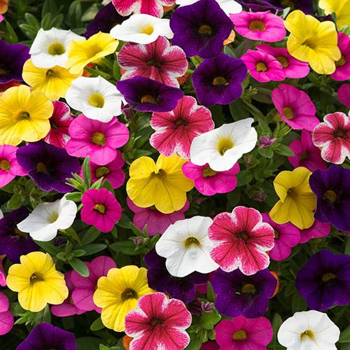 Petunia Kabloom Mix