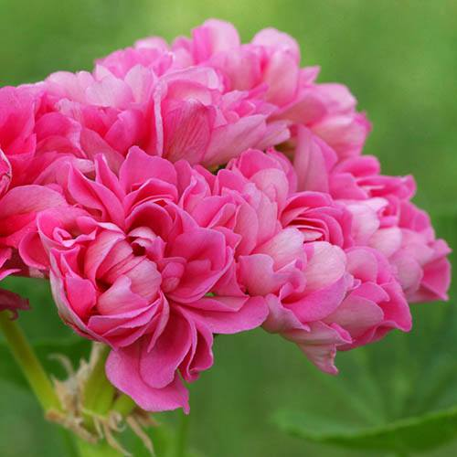 Rosebud Geranium Sybil Pink