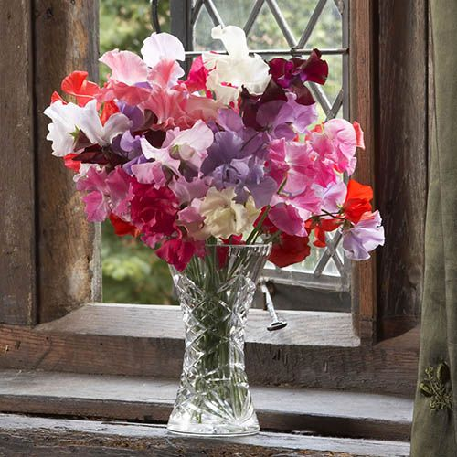 Gardeners World Super Scented Sweet Peas