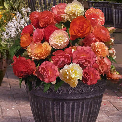 Fragrant Begonia Heaven Scent
