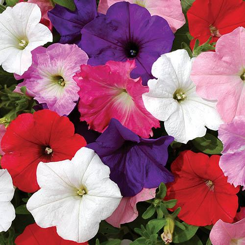 Petunia Easy Wave 12 plug plants