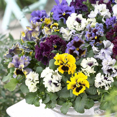 Pansy Frizzle Sizzle Mixed 20 garden ready plants