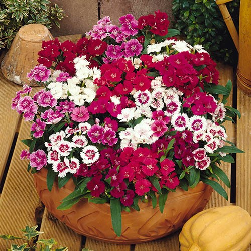 Dianthus Festival Mixed 20 garden ready plants