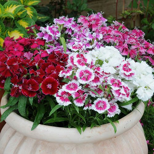 Dianthus Festival Mixed 20 garden ready plants