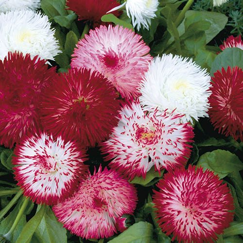 Bellis Habanera Mix