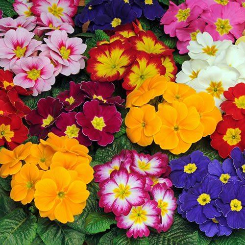 Primrose Bonelli Mixed 20 Garden Ready Plants