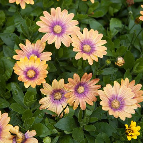 Osteospermum Blushing Beauty