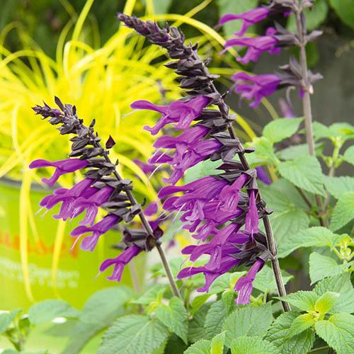 Salvia Amistad 6 jumbo plugs