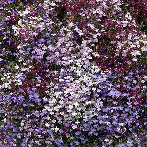 Lobelia string of Pearls Mixed 20 pack