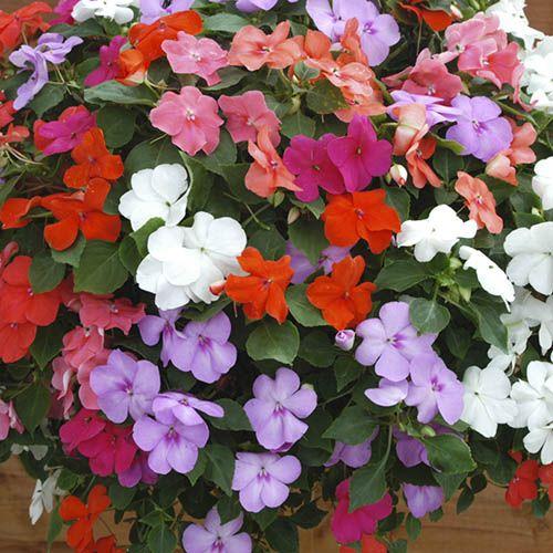 Impatiens Busy Lizzie DeZire mix 20 large garden ready plants