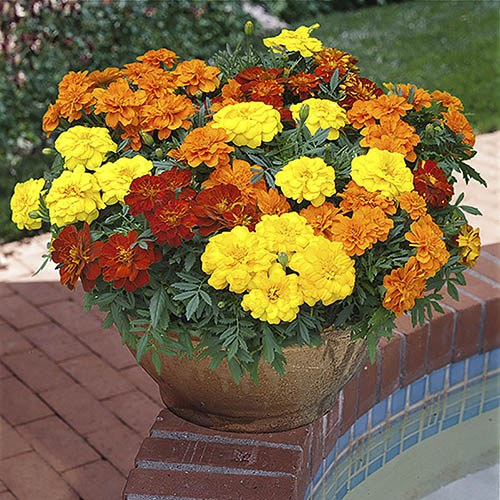 French Marigold Durango Mixed 20 pack