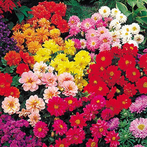 Dahlia Diablo Mixed 20 pack
