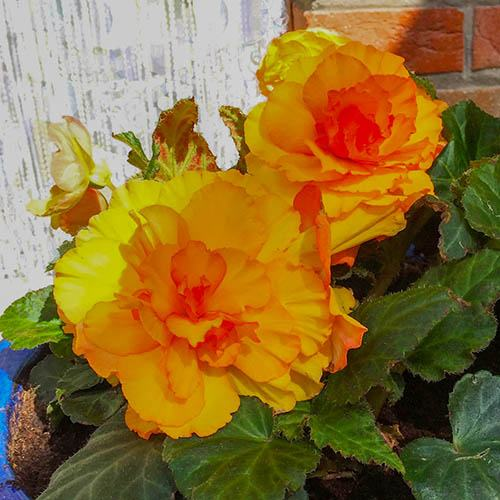 Begonia Magic Flame
