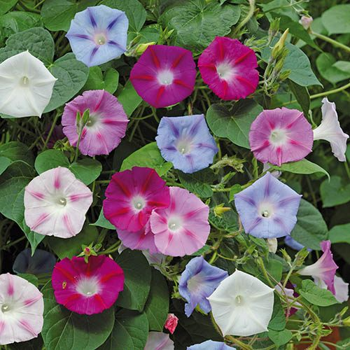 Ipomoea Electric Shock plug plants