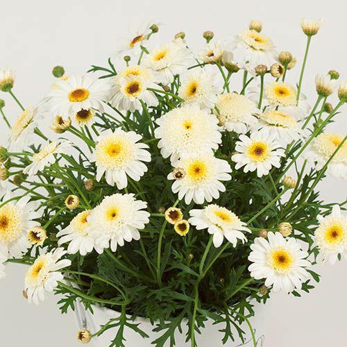 Marguerite Daisy Argyranthemum Aramis Caramel