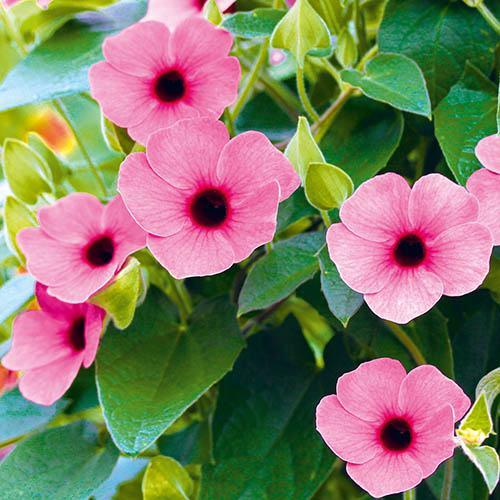 Thunbergia Arizona collection