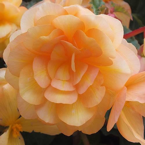 Trailing Begonia Illumination Apricot Shades