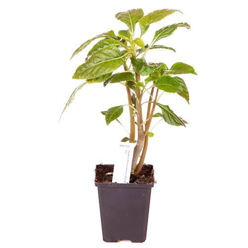 Parrot Plant - Impatiens niamniamensis