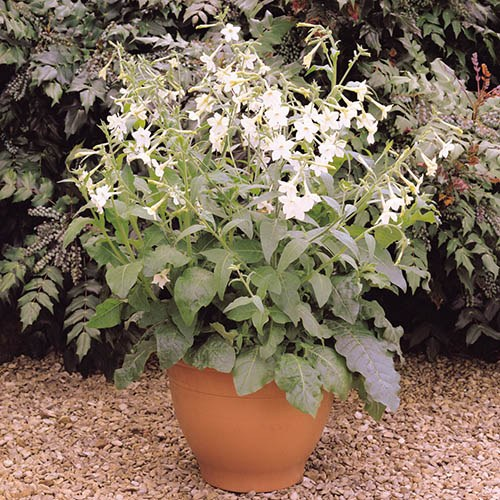Nicotiana Flowering Tobacco Plant