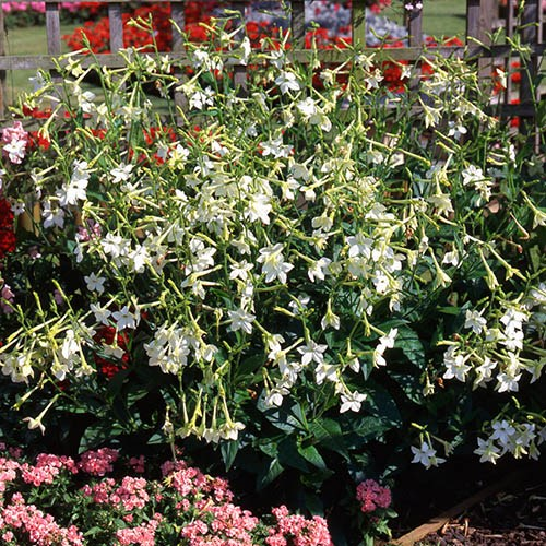 Nicotiana Flowering Tobacco Plant